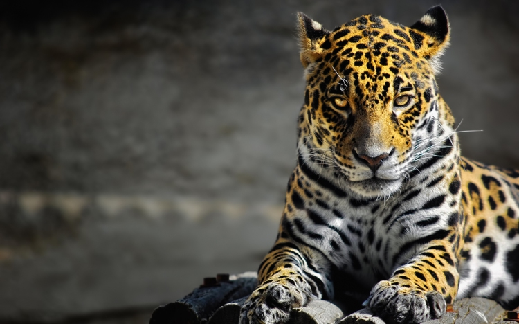 A jaguar staring at the screen.
