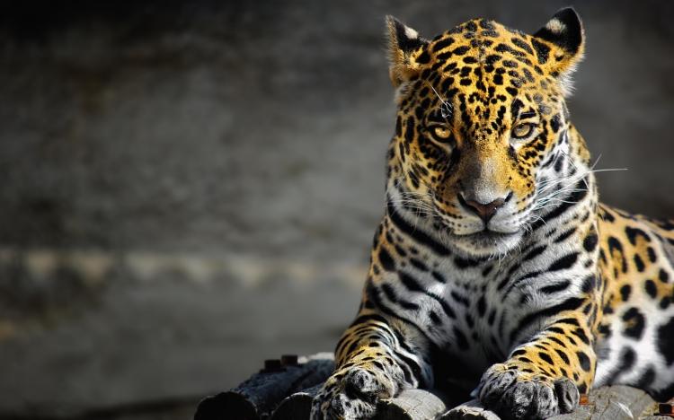 A jaguar staring at the screen.