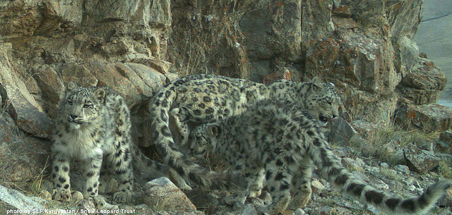 In one of my earliest posts, I shared a story about how the Snow Leopard Trust is using a system of financial incentives to discourage hunting of snow leopards and their prey. What does the aforementioned research mean for programs such as this? Kyrgyzstan 1 by Snow Leopard Trust. CC BY-NC-SA 2.0