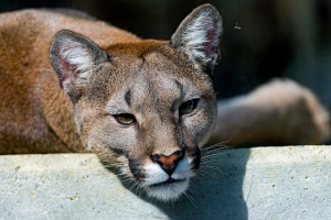 Lying Cougar by Tambako. CC BY-ND 2.0