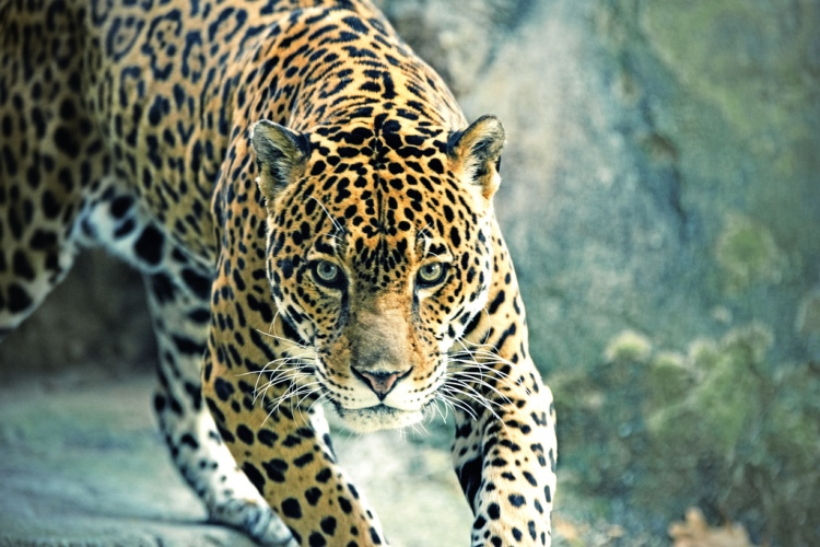 Jaguar Approaching by Eric Kilby. CC BY-SA 2.0