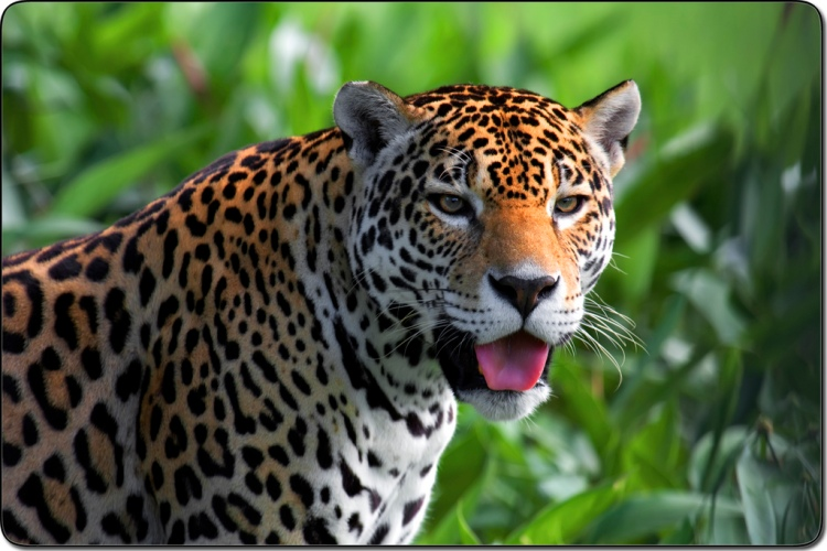 Jaguar by Yannick TURBE. CC BY-NC-ND 2.0