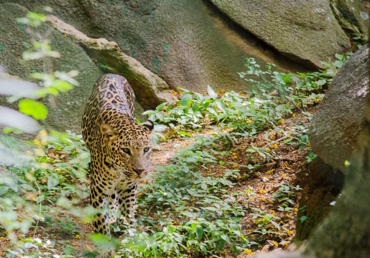 Leopard by Ashwin Kumar. CC BY-SA 2.0