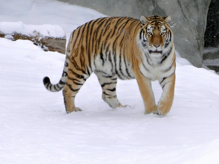 Amur Tiger by Maia C. CC BY-NC-ND 2.0