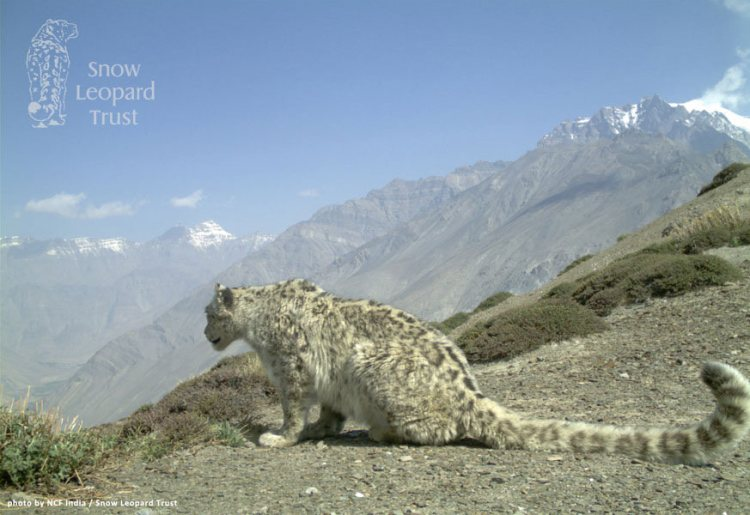 India 1 by NCF India / Snow Leopard Trust. CC BY-NC-SA 2.0