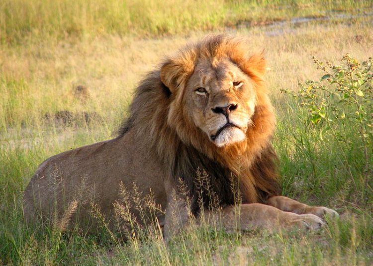 Cecil the lion at Hwange National Park (4516560206) by Daughter#3 - Cecil. Licensed under CC BY-SA 2.0 via Commons - https://commons.wikimedia.org/wiki/File:Cecil_the_lion_at_Hwange_National_Park_(4516560206).jpg#/media/File:Cecil_the_lion_at_Hwange_National_Park_(4516560206).jpg