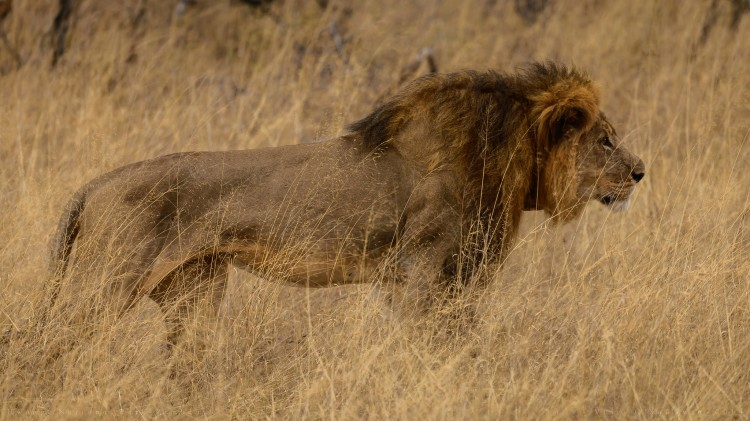 Cecil - Hwange National Park, Zimbabwe (b) by Vince O'Sullivan. CC BY-NC 2.0