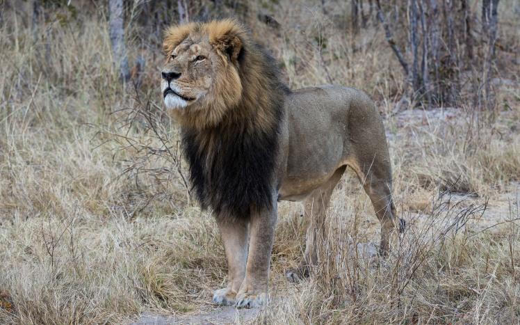 Cecil - Hwange National Park, Zimbabwe by Vince O'Sullivan. CC BY-NC 2.0