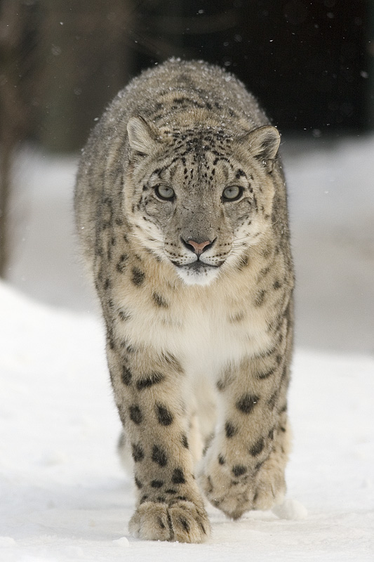 Snow leopards are closely related to Panthera blytheae, the oldest known pantherine cat. (Tseng et al., 2014). A Snow Leopard (Uncia Uncia) by Bernard Landgraf. CC BY-SA 3.0