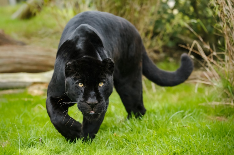 Modern jaguars, like this melanistic one, have overcome extraordinary challenges to become what they are today. But now their fate is in our hands. WHF 46 by Greg, CC BY-NC-ND 2.0