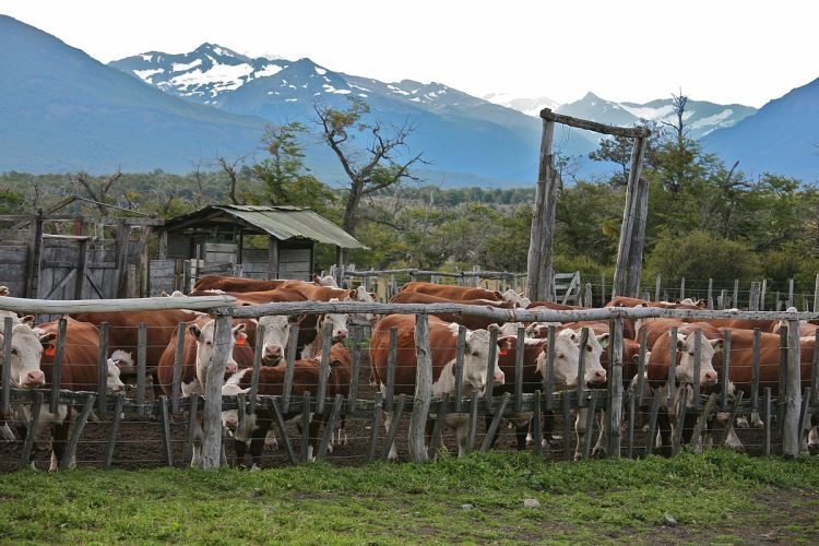 Cattle protected by a corral. Such measures are necessary for reducing human-jaguar conflict, but they may not be sufficient. Cattle Ranch by Alex Proimos. CC BY 2.0