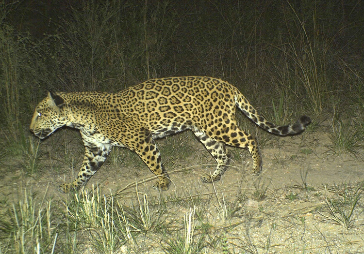 A jaguar named Caza in Sonora, Mexico. Photo courtesy of the Northern Jaguar Project and reproduced from www.northernjaguarproject.org