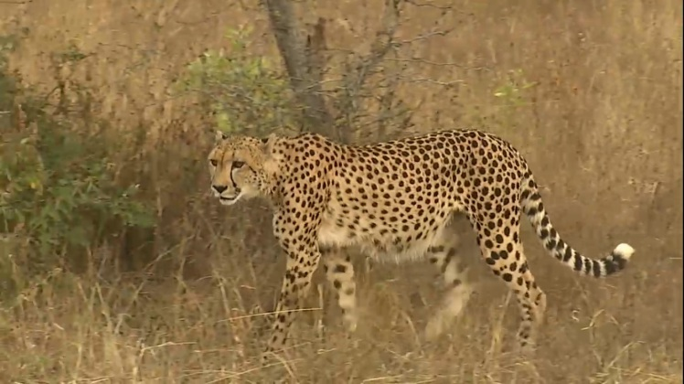 This cheetah was seen on Wild Safari Live on March 3, 2015. Wild Safari Live will once again be an integral part of Big Cat Week.
