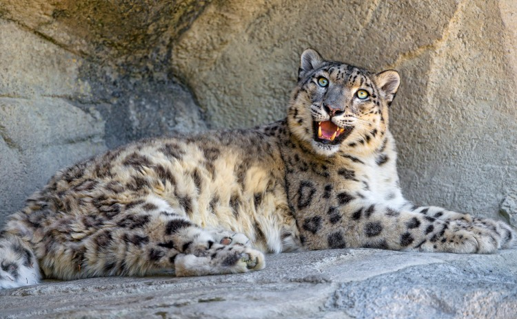 Why is Djamila so happy? Because of Big Cat week, of course! Happy Djamila by Tambako the Jaguar. CC BY-ND 2.0