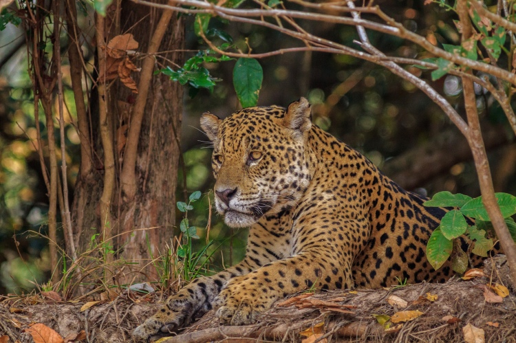 A jaguar lying down in the Brazilian Pantanal: one of the hotspots for human-jaguar conflict. Jaguar-Brazil2010k-4049.jpg by Dagget2. CC BY-NC-ND 2.0