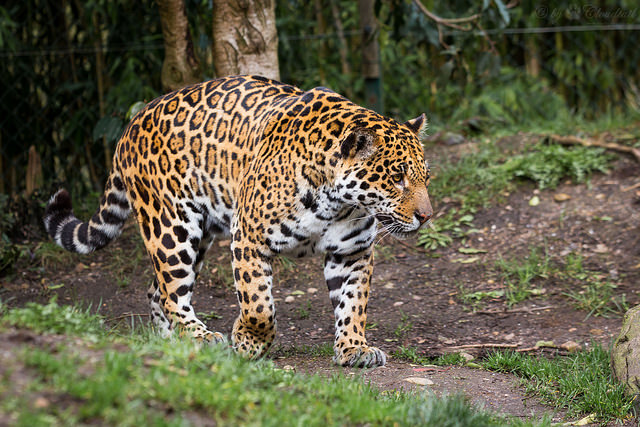 Jaguar by Cloudtail. CC BY-NC-SA 2.0