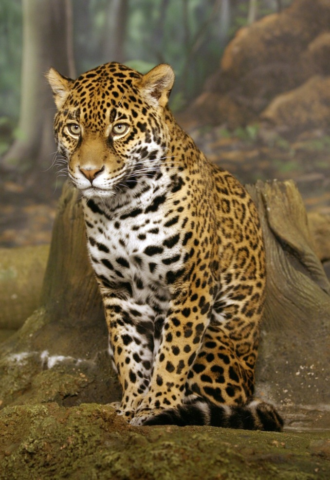 Jaguar Sitting Edit 1 by Cburnett, edited by Olegivvit. CC BY-SA 3.0