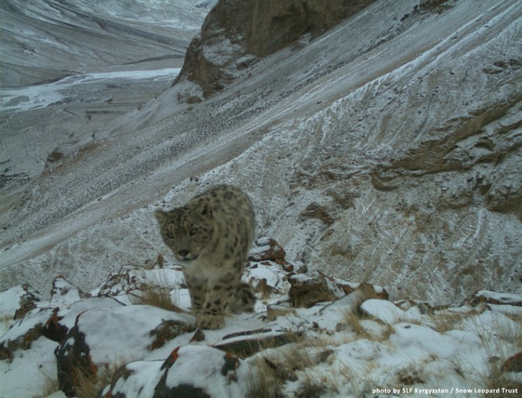 Kyrgyzstan 5 by Snow Leopard Trust. CC BY-NC-SA 2.0.