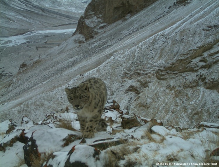 Kyrgyzstan 5 by Snow Leopard Trust. CC BY-NC-SA 2.0.