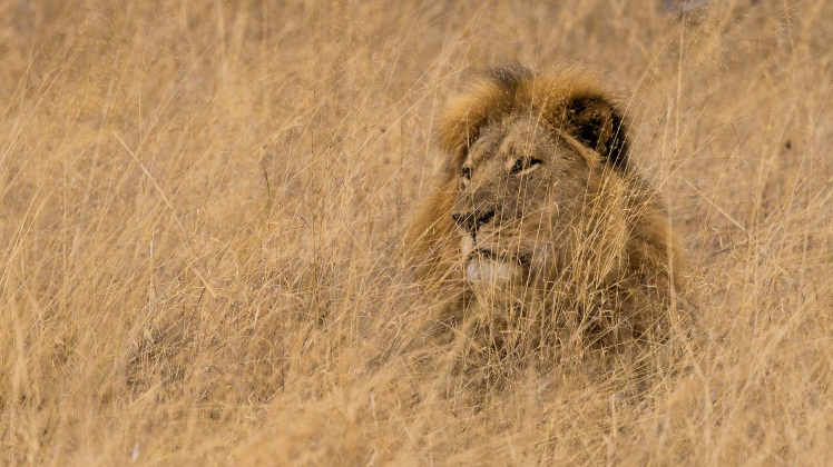 Cecil - Hwange National Park, Zimbabwe (c) by Vince O'Sullivan. CC BY-NC 2.0
