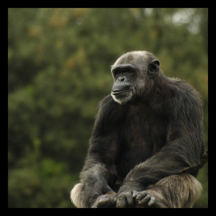 In Sierra Leone, the slave trade's legacy impacted both humans and chimpanzees (Richards, 2000). Chimpanzee by Riccardo Cuppini. CC BY-NC-ND 2.0