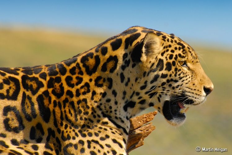 With our support, jaguars can reclaim their lost territory in the United States. Jaguar by Martin Heigan. CC BY-NC-ND 2.0