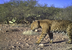 El Inmenso is one of the jaguars roaming Sonora's scrub-lands. Photo (c) Northern Jaguar Project and reproduced from www.northernjaguarproject.org