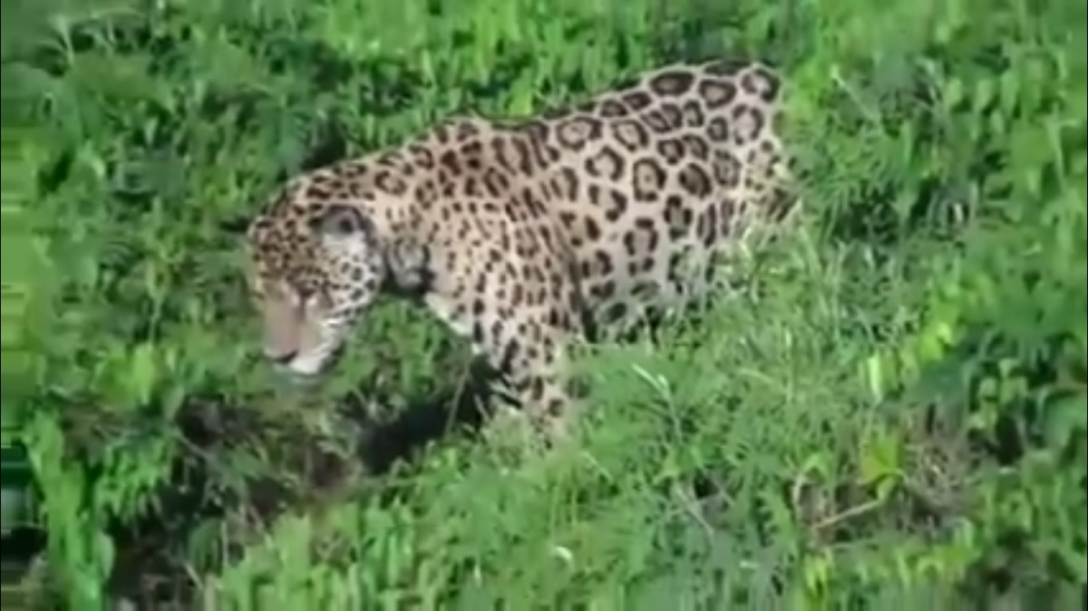 New Video of a Jaguar Diving Underwater to Kill a Caiman