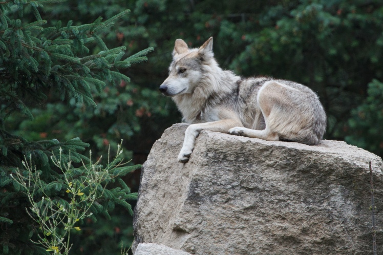 As a child, I absolutely loved wolves. Part of me still does. Mexican Gray Wolf by Don Burkett. CC BY-NC-ND 2.0