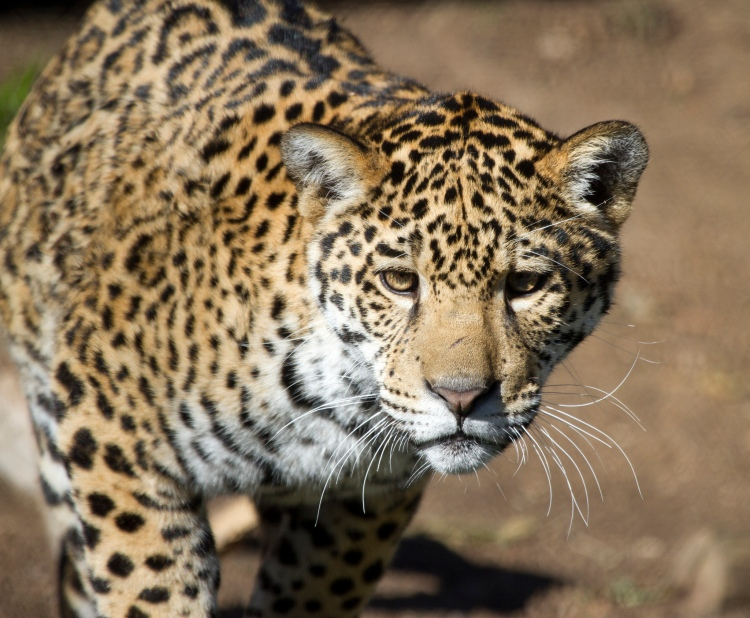 Jaguar by Nathan Rupert. CC BY-NC-ND 2.0