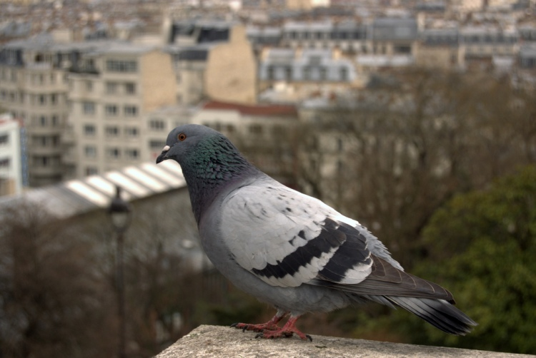 Every year, an annual pigeon (Columba livia) shoot used to be held in Hegins, Pennsylvania. The birds were not killed because of the damage they caused, but because of their association with cities. Pigeon by The Yellowrider. CC BY-NC-SA 2.0