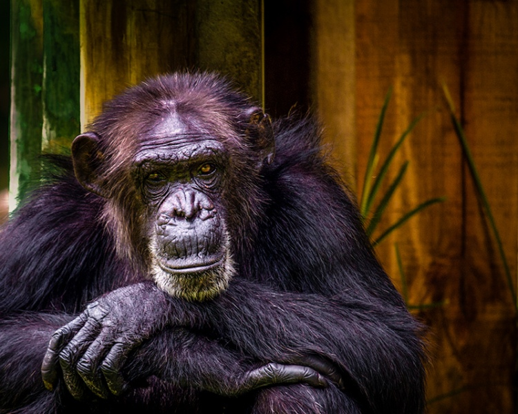 Chimpanzee by Kevin Case. CC BY-NC 2.0