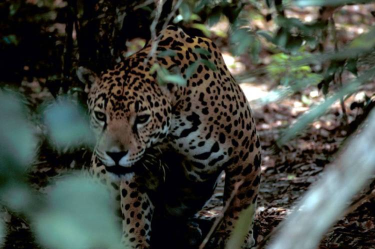 Jaguar (Panthera onca) by Gary M. Stolz of the USFWS. Public domain.