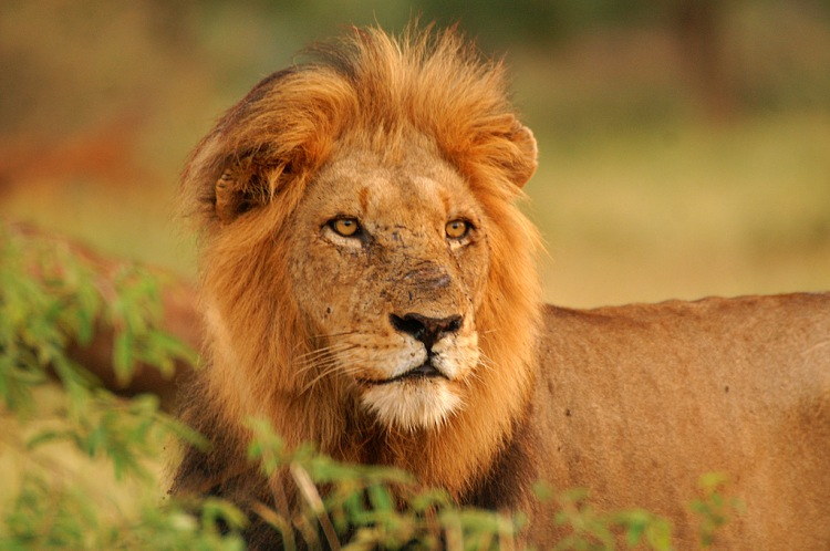 Lion by Arno Meintjes. CC BY-NC-SA 2.0