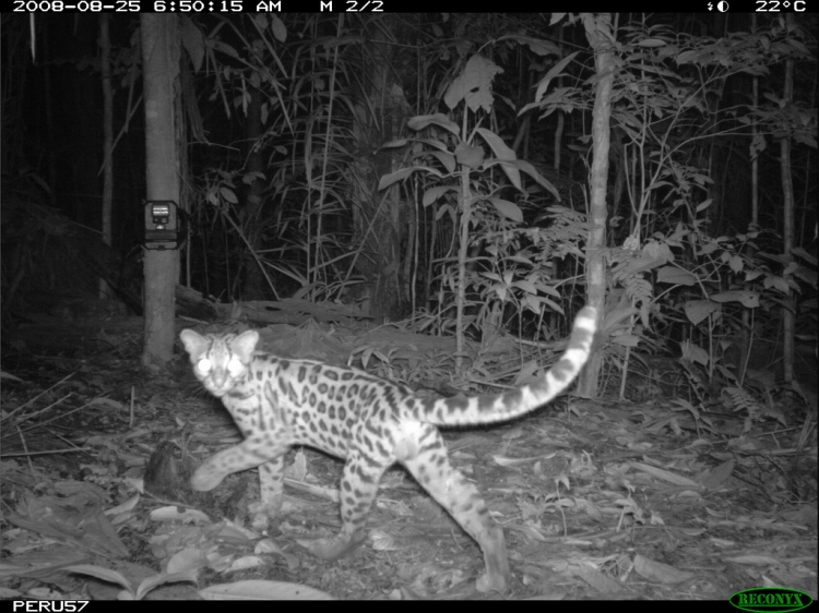The rare and mostly arboreal margay was among the species filmed by Crees Foundation camera traps. Margay by Smithsonian Wild. CC BY-NC-SA 2.0