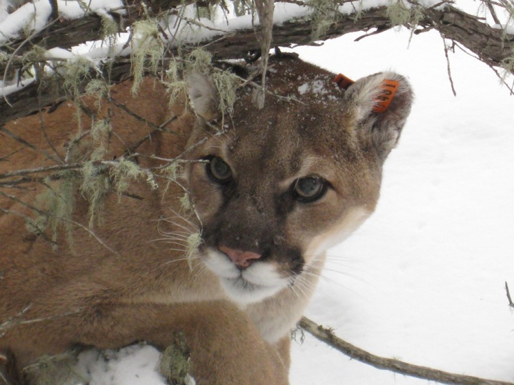 Mountain Lion by USFWS Mountain-Prairie. CC BY 2.0