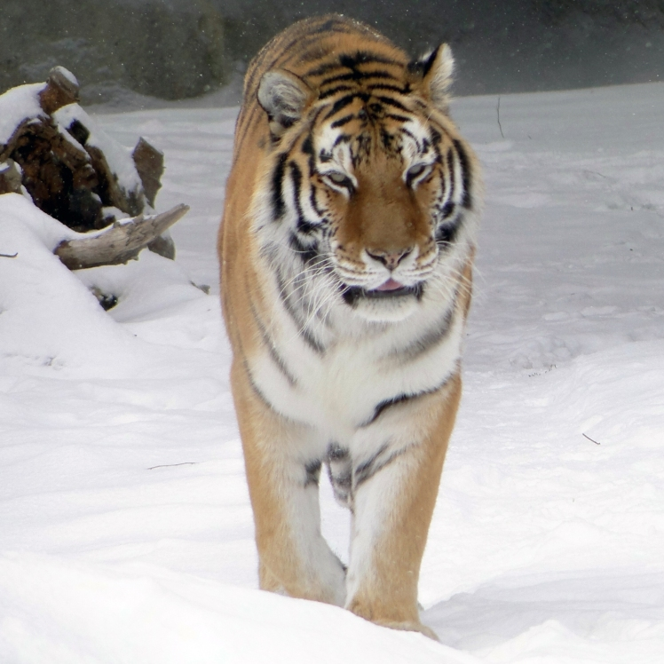 Amur Tiger (b) by Maia C. CC BY-NC-ND 2.0