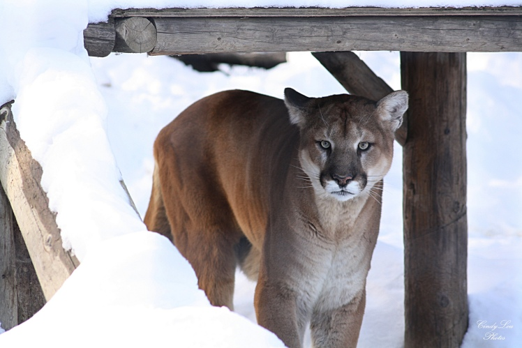Cougar in Winter by CindyLouPhotos. CC BY 2.0