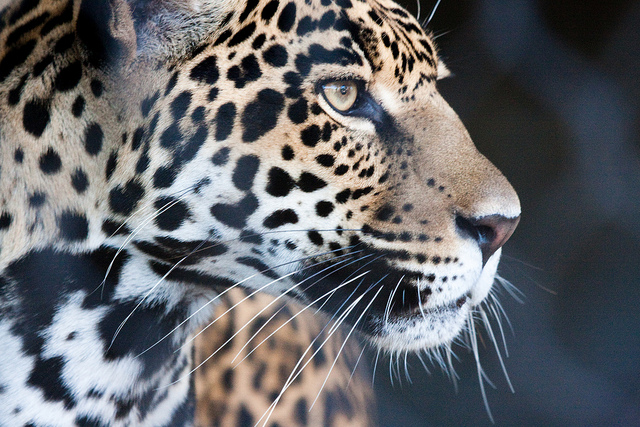 In line with SIT and SCT, Marchini (2010) found that educational materials had a bigger impact when they were endorsed by in-group members. Jaguar Stare by Nathan Rupert. CC BY-NC-ND 2.0