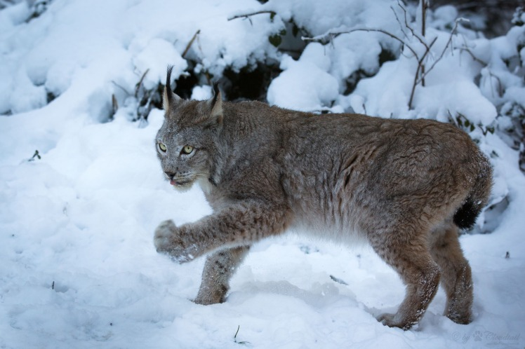 When it became known that hunters were illegally killing lynx in Switzerland, public opinion on lynx conservation became polarized. Why? Lynx in snow by Cloudtail. CC BY-NC-SA 2.0