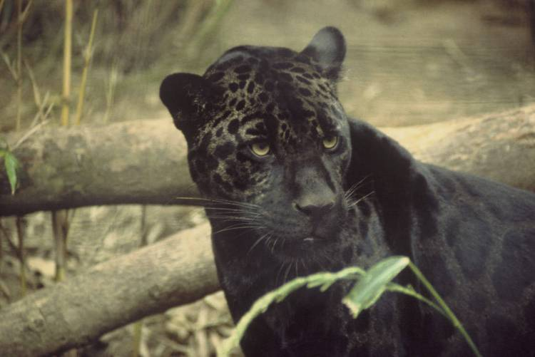 A melanistic (black) jaguar. Ultimate Predator featured some good footage of jaguars hunting caiman. Jaguar by Ron Singer. Public Domain.
