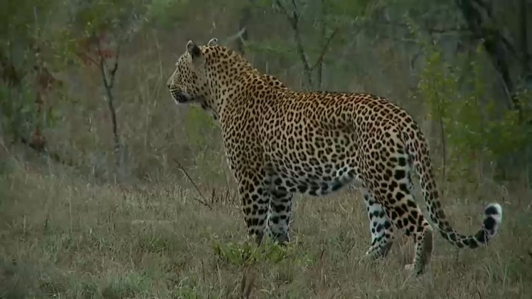 The male leopard Mvula, as seen on Wild Safari Live on May 7, 2015. Mvula made an appearance during Big Cat Week 2015.