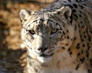 Snow leopard by Heidi Schuyt. CC BY-NC-SA 2.0