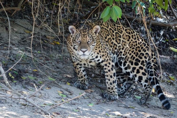 Jaguar in the Pantanal by Bart van Dorp. CC BY 2.0