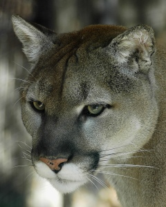 Residing in an area with the potential for human-puma conflict would be an excellent learning opportunity. Cougar by Valerie. CC BY-NC-ND 2.0