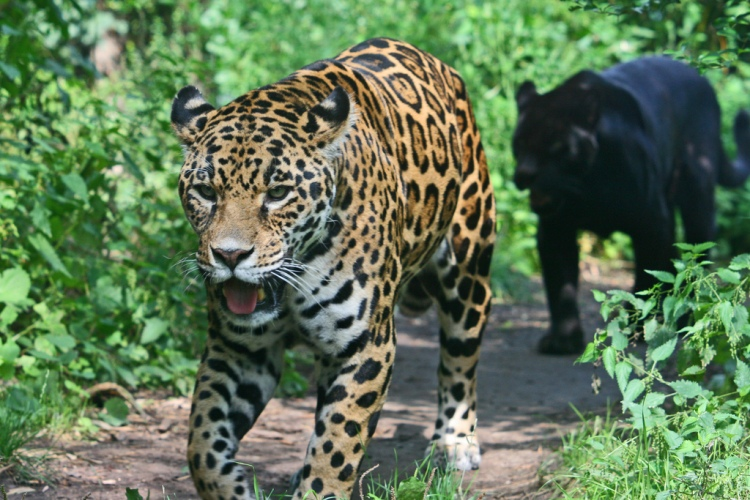 Jaguar by Christine and David Schmitt. CC BY-NC-ND 2.0
