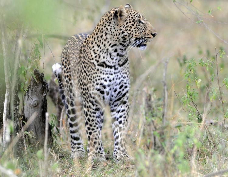 Leopard by RayMorris1. CC BY-NC-ND 2.0