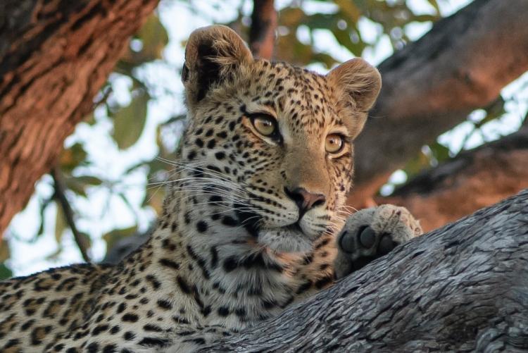 Leopard by David Schenfeld. CC BY-NC-ND 2.0