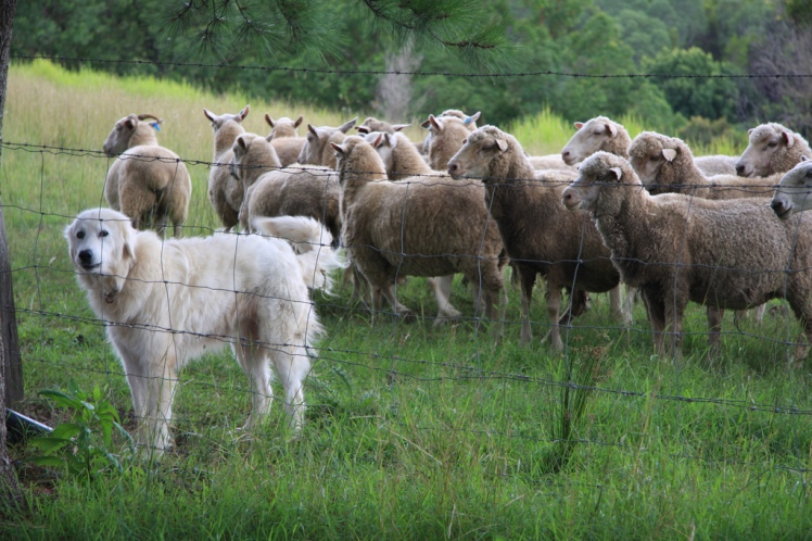 Keeping guard dogs with livestock can be an effective way to deter predators. Protector of the Sheep by Andy Fitzsimon. CC BY-SA 2.0