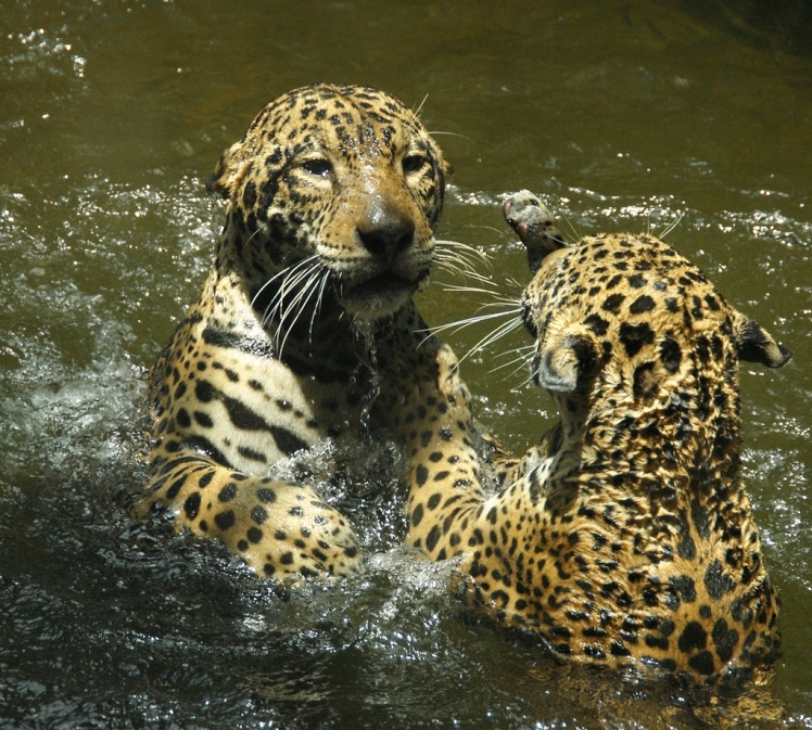 Jaguars at Play by A. Davey. CC BY 2.0